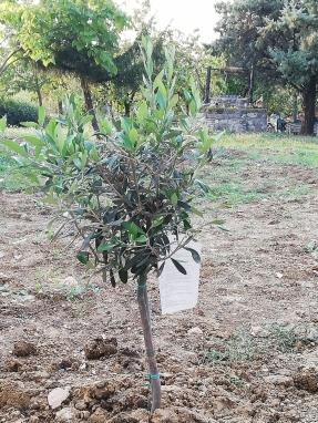 Piantumazione di un olivo nella giornata di ritiro Laudato sì